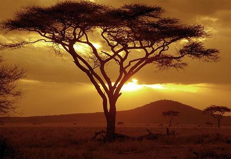 acacia-tree-africa